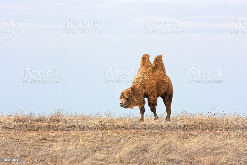 Lonesome Camel stock photo