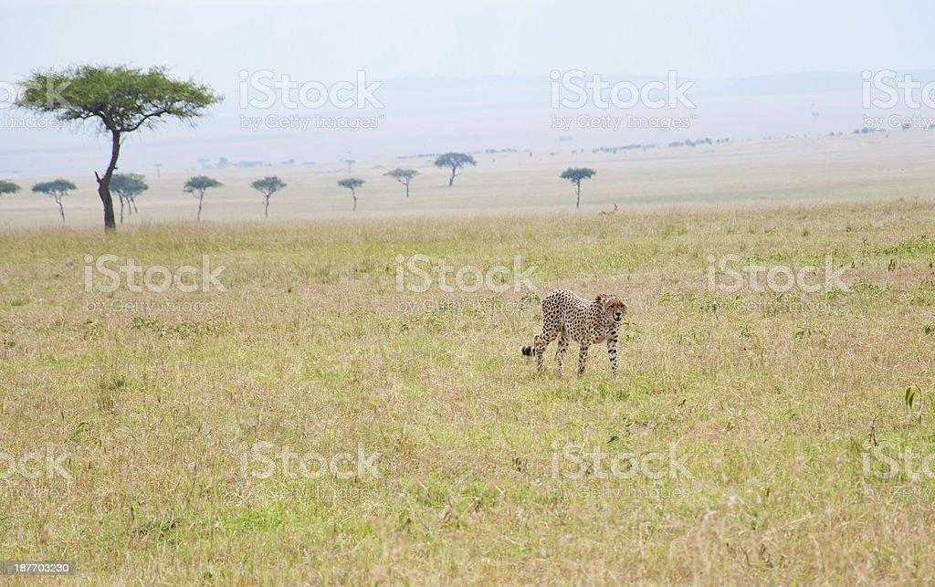 lonesome cheetah roaming through the savannah stock photo