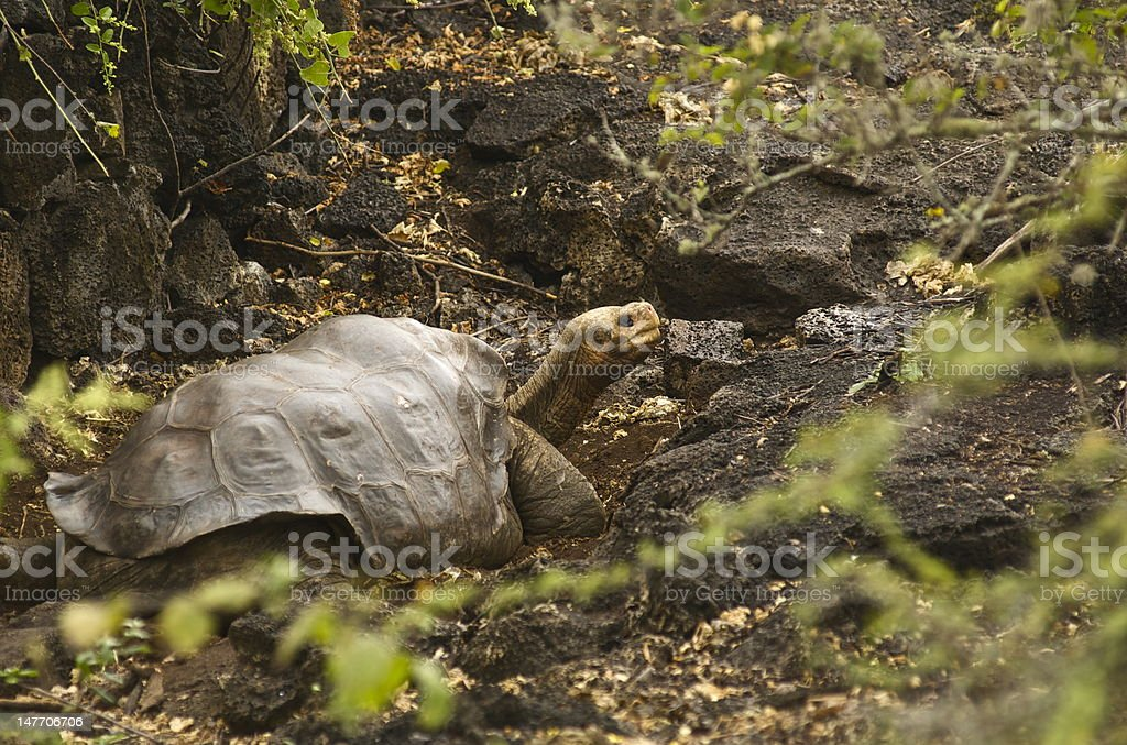 Lonesome George Galapagos Island Tortoise stock photo