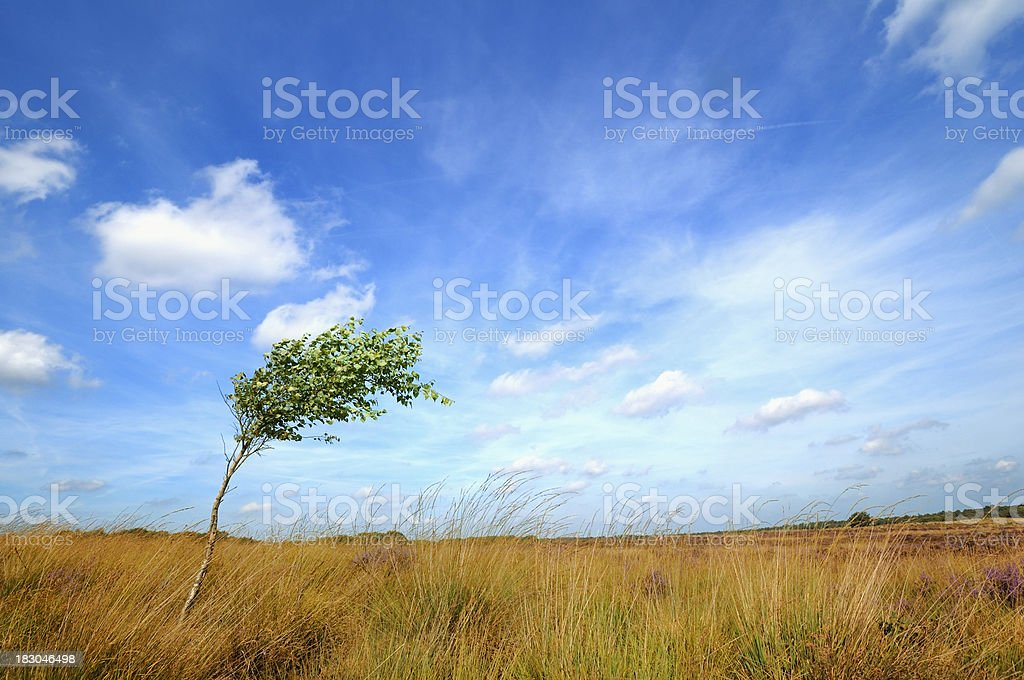 Lonesome tree swept by the wind stock photo