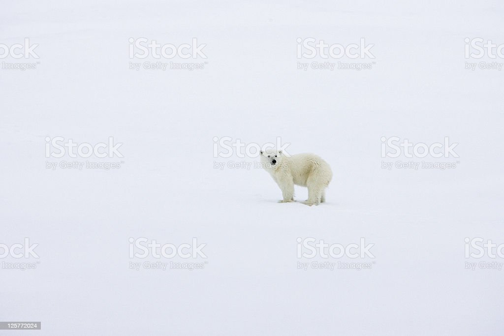 Lonesome young polar bear in the arctic stock photo