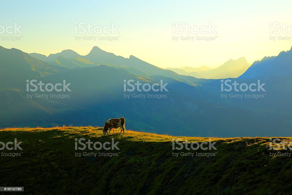 Loney Cow herd, Wetterhorn above Grindelwald: Swiss Alps sunrise stock photo