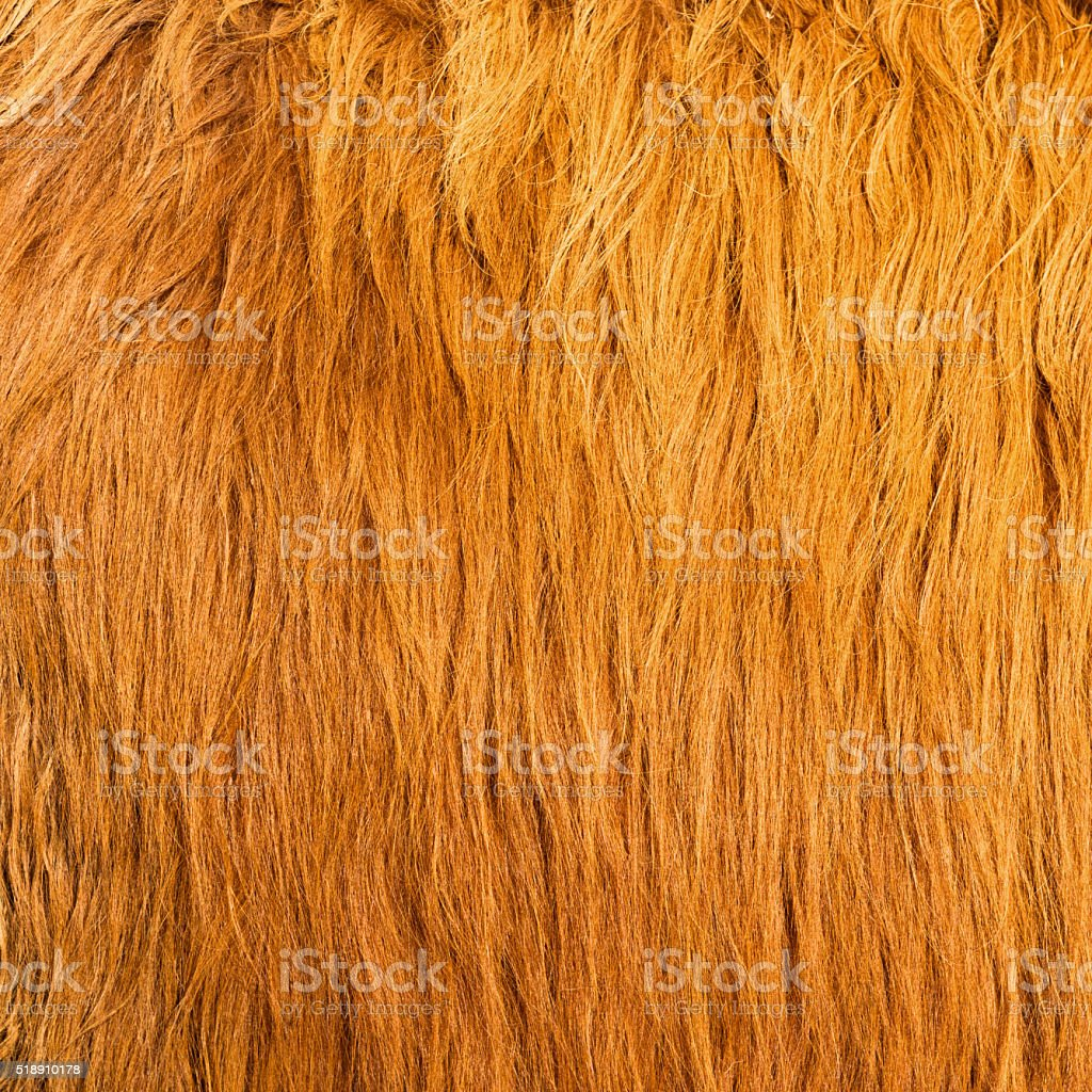 The long, light brown hairs of a highland cow.