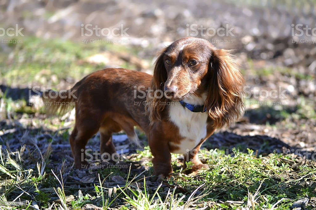 Long Auburn Haired Miniature Dachshund Puppy called a Weiner Dog stock photo