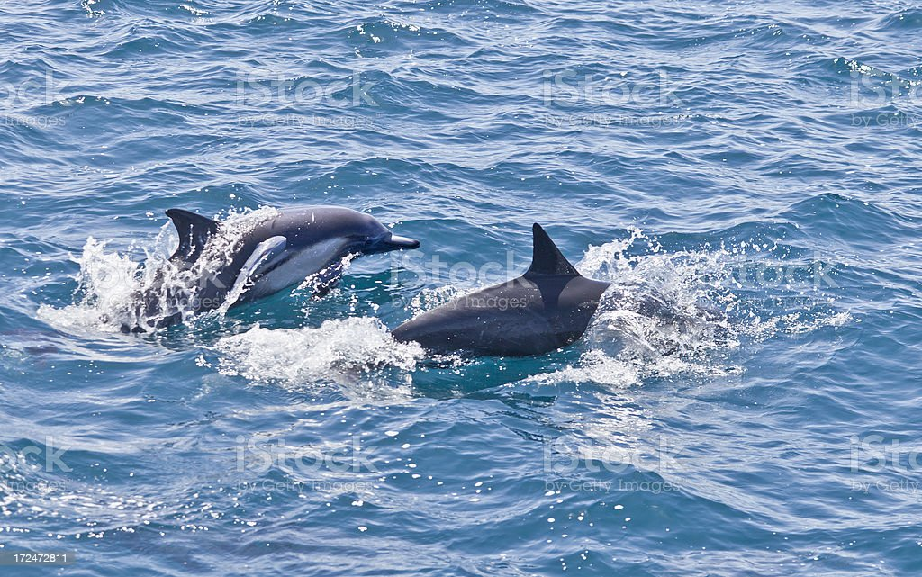 Long beaked Common Dolphins (Delphinus capensis) with Remora stock photo