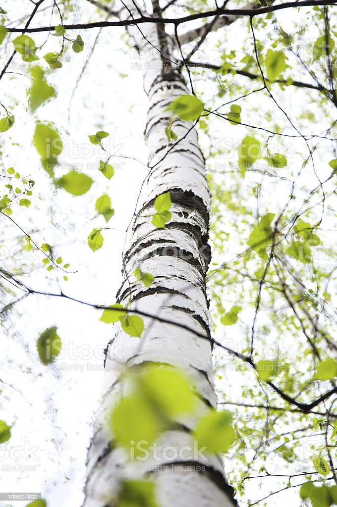 long birch in a spring royalty-free stock photo