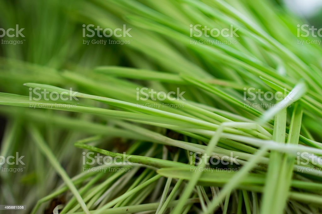Long blades of grass stock photo