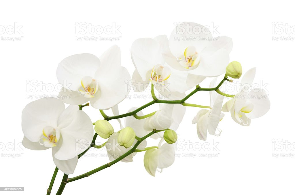Long branches of bouquet delicate white orchid flowers stock photo