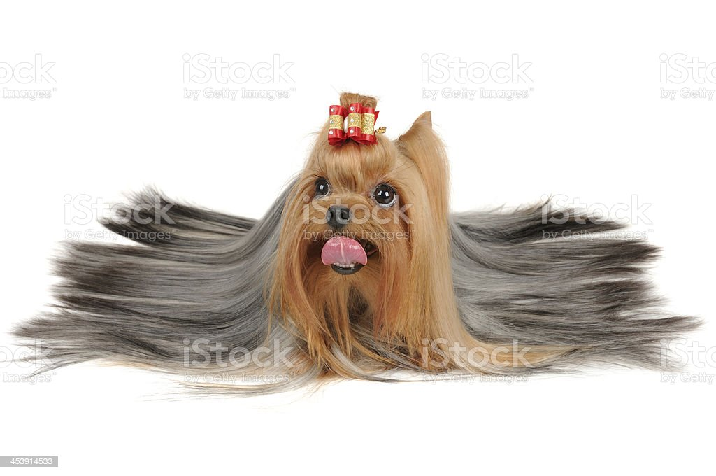 Long coated Yorkshire Terrier lies on white royalty-free stock photo
