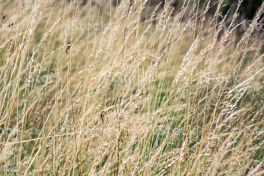 Long dry grass seasonal abstract background on windy day stock photo