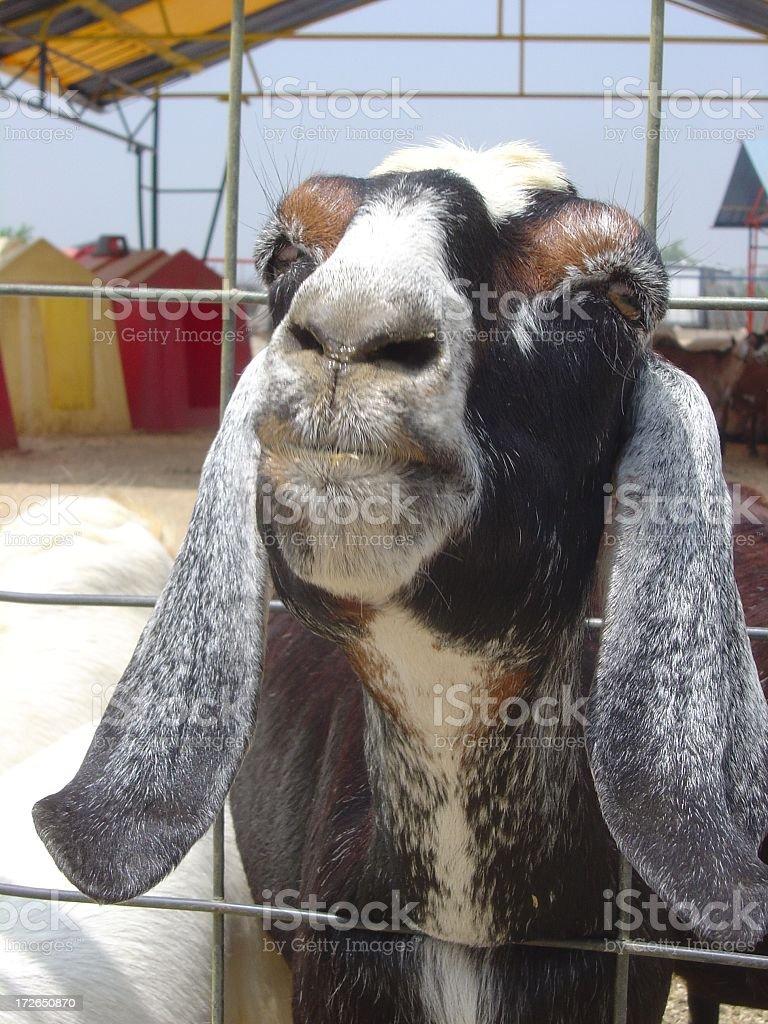 Long Ear Goat Facing Camera royalty-free stock photo