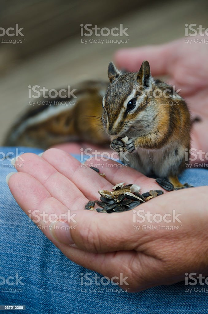 Long Eared Chipmunk Eating Seeds From Human Hand stock photo