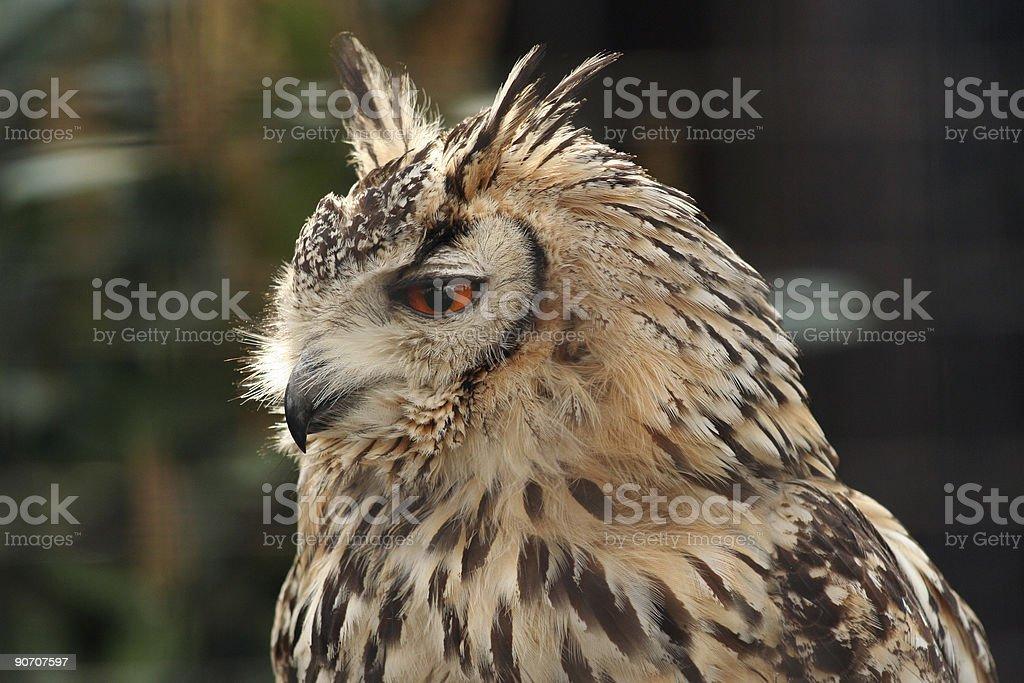 Long Eared Eagle Owl stock photo