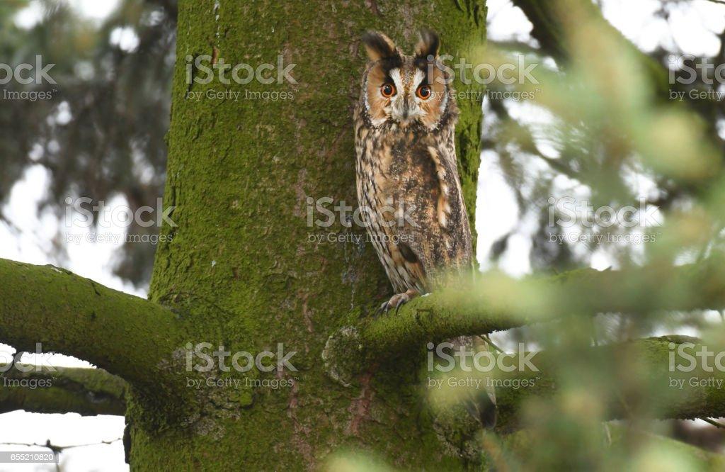 Long eared owl stock photo