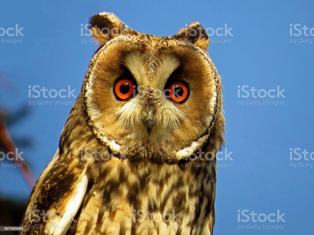 Long eared owl (Asio otus) staring stock photo