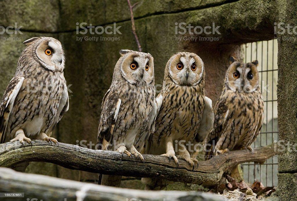Long Eared Owls stock photo