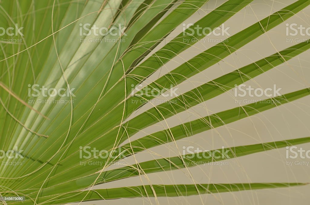 Long filaments on palm frond intersecting with leaf tips stock photo