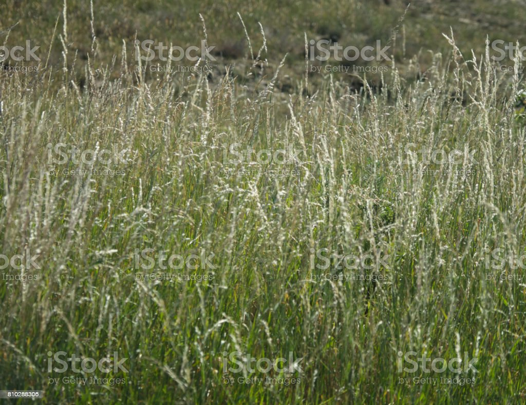 long green grass in springtime stock photo