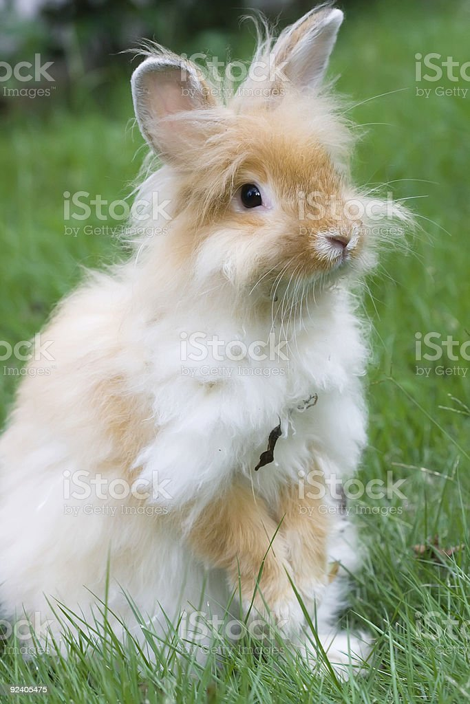 long hair rabbit royalty-free stock photo