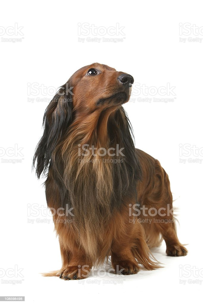 long haired badger dog stock photo