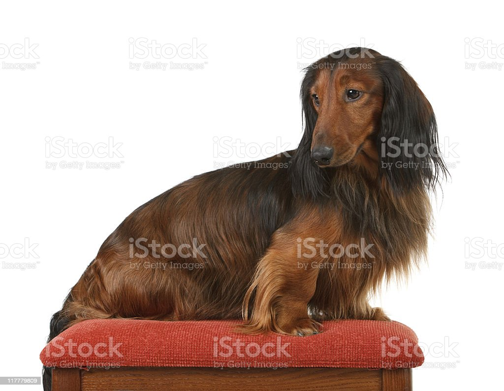 long haired badger dog sitting on the pillow stock photo