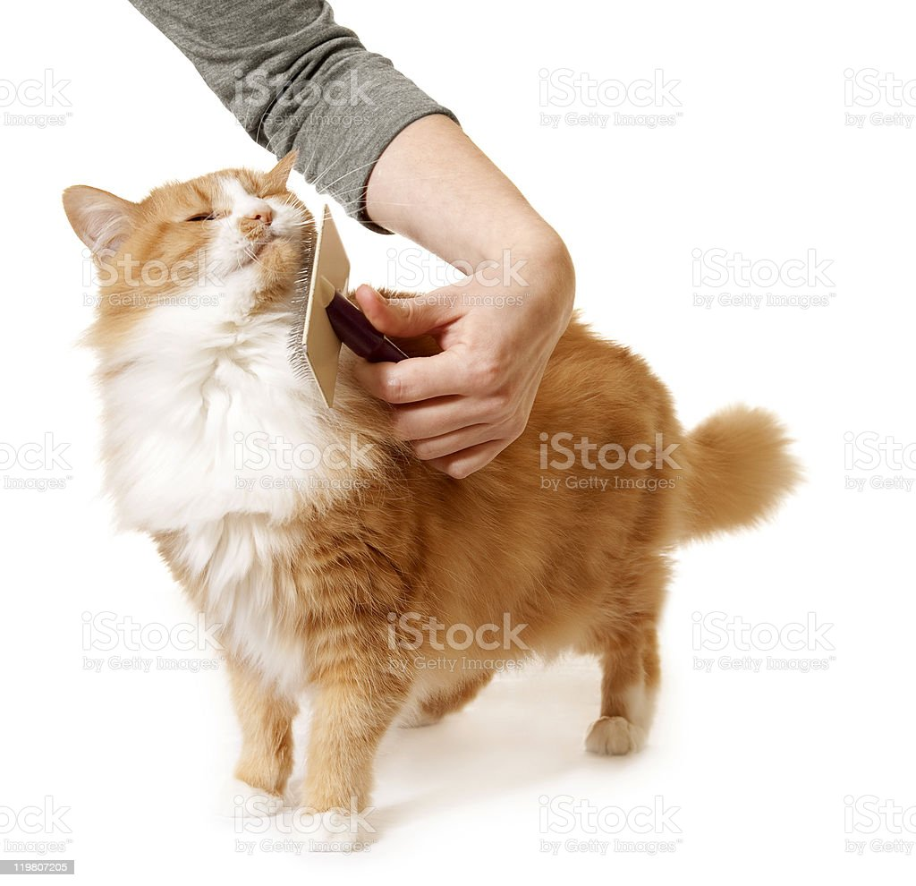 Long Haired Cat Being Brushed and Groomed stock photo