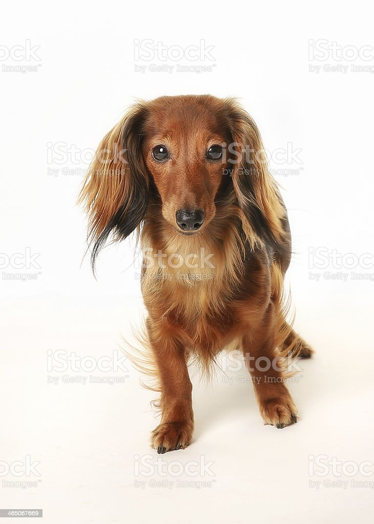 Long haired dachshund stock photo