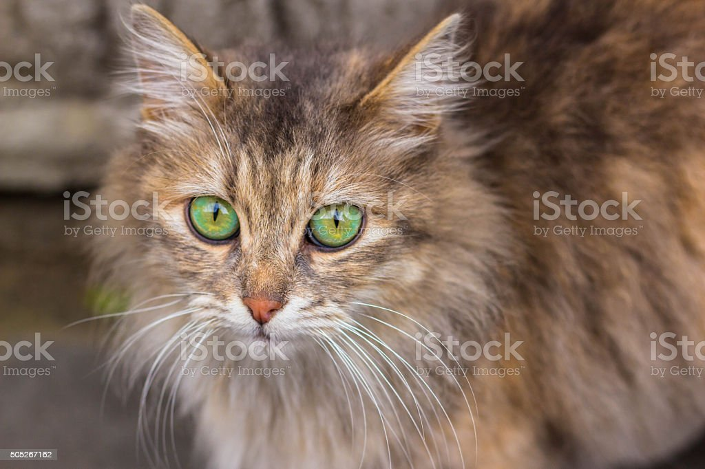 Long Haired Ginger Cat with Bright Green Eyes stock photo