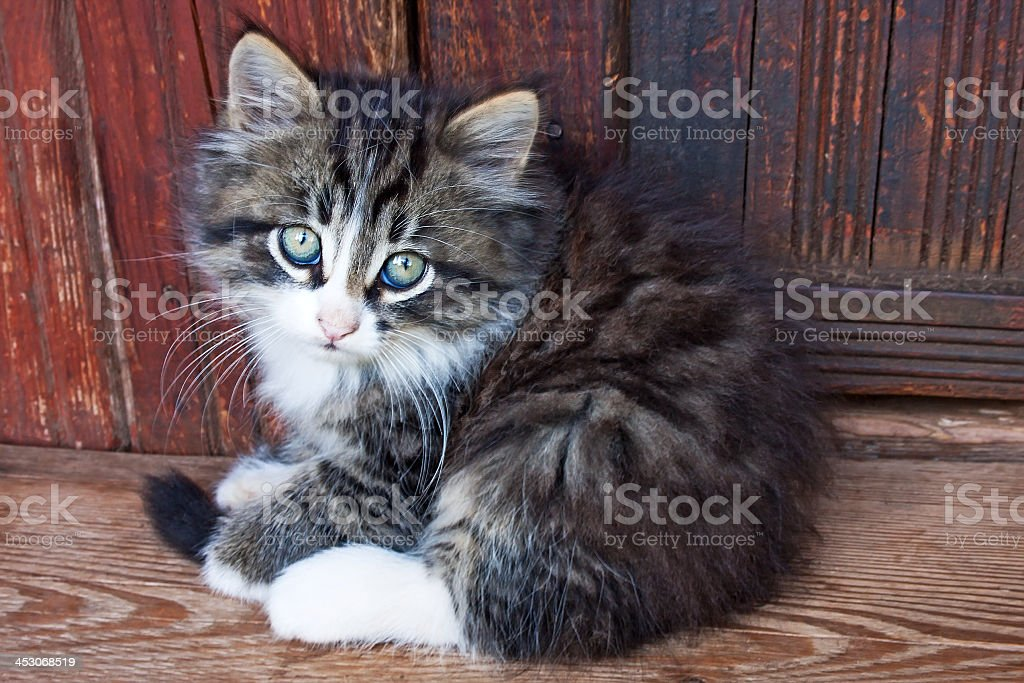 Long haired kitten on wood floor against wooden wall royalty-free stock photo