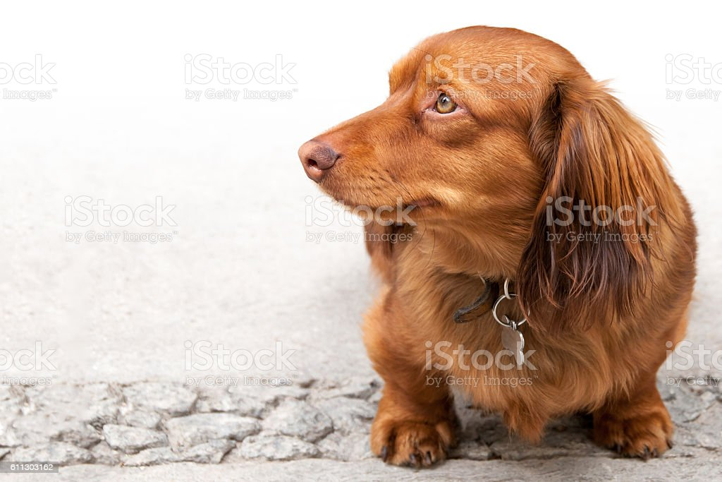 Long haired miniature dachshund isolated on white stock photo