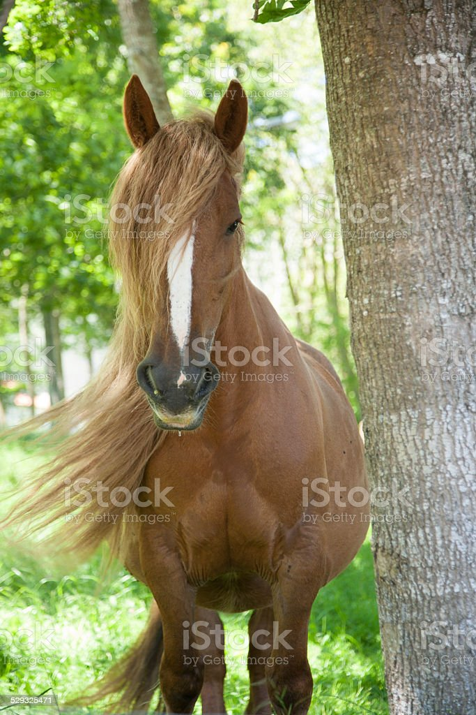 long hairhorse stock photo