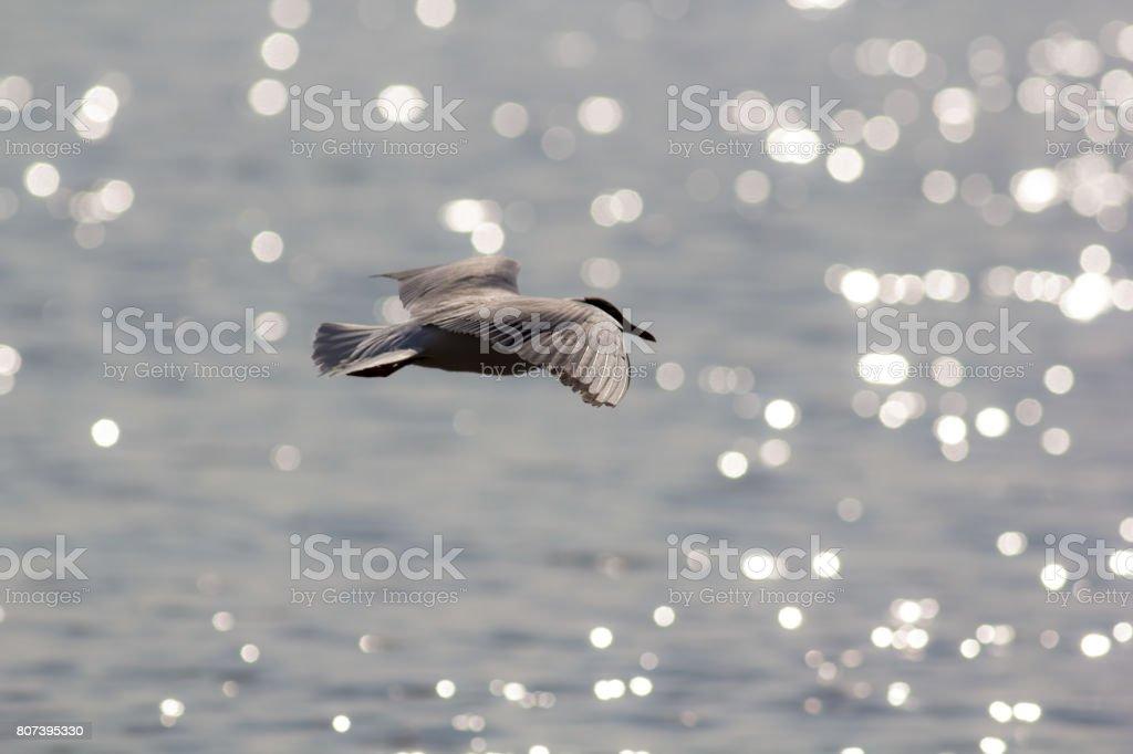 Long haul. Ocean bird migrating. Black-headed gull over water. stock photo