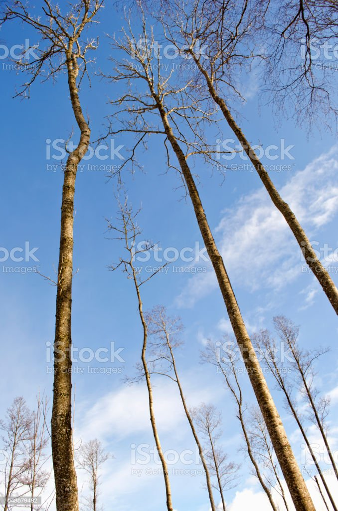 long high tree trunks on winter sky  in forest stock photo