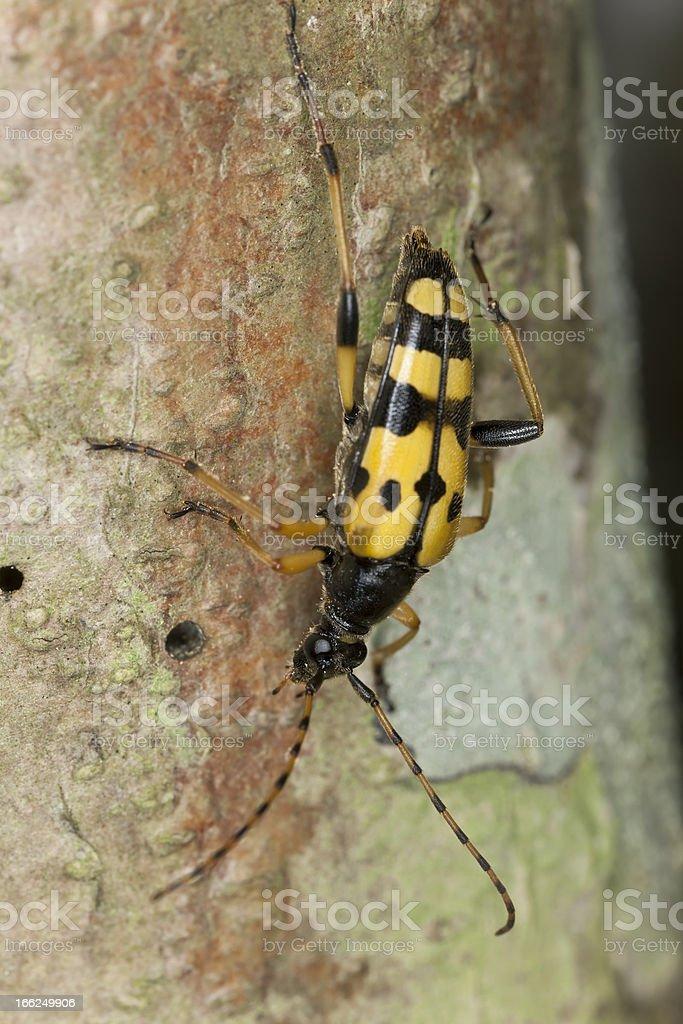 Long horn beetle (Rutpela maculata) macro photo royalty-free stock photo