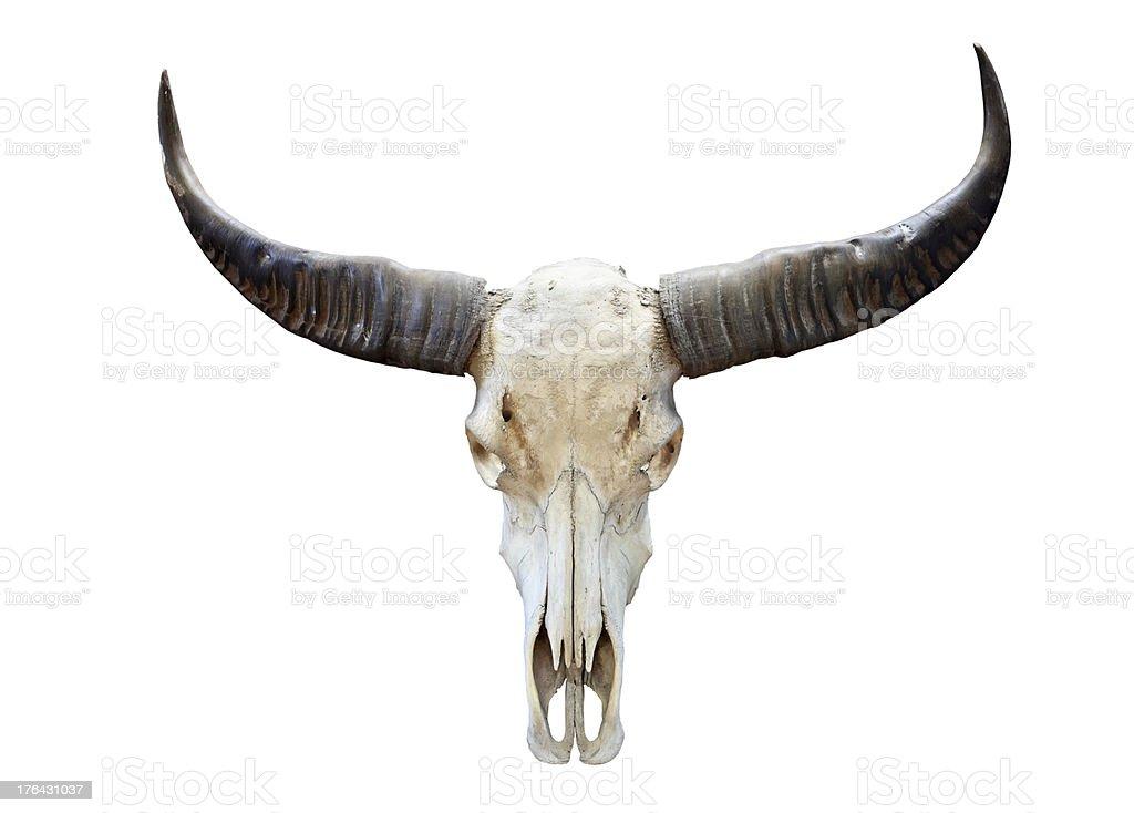 long horn buffalo skull stock photo