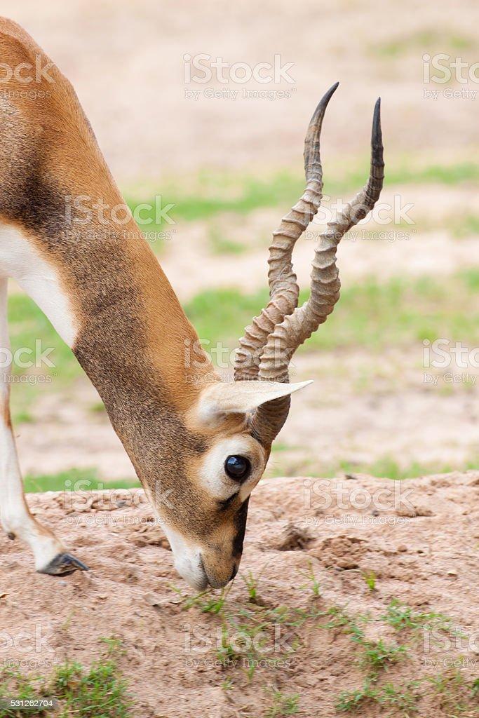 Long horn deer seek a livelihood on the grass royalty-free stock photo