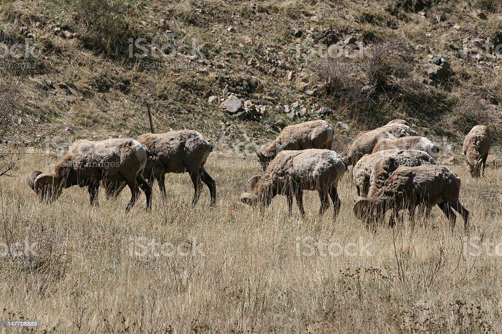 Long Horn Sheep stock photo