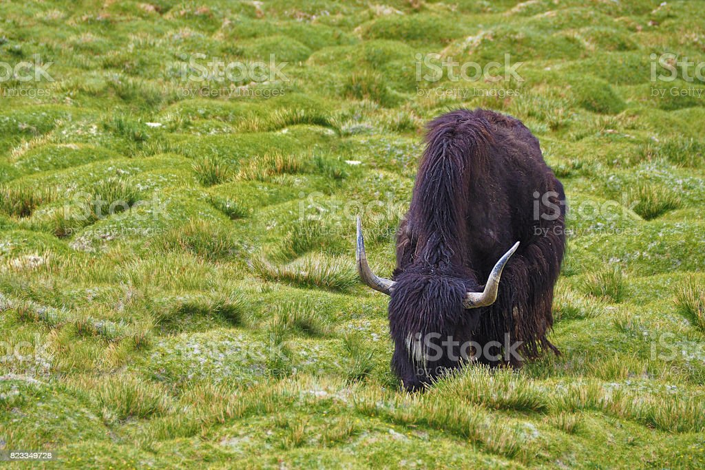 Long horn Yak eating on green field, Leh Ladakh India with copy space stock photo