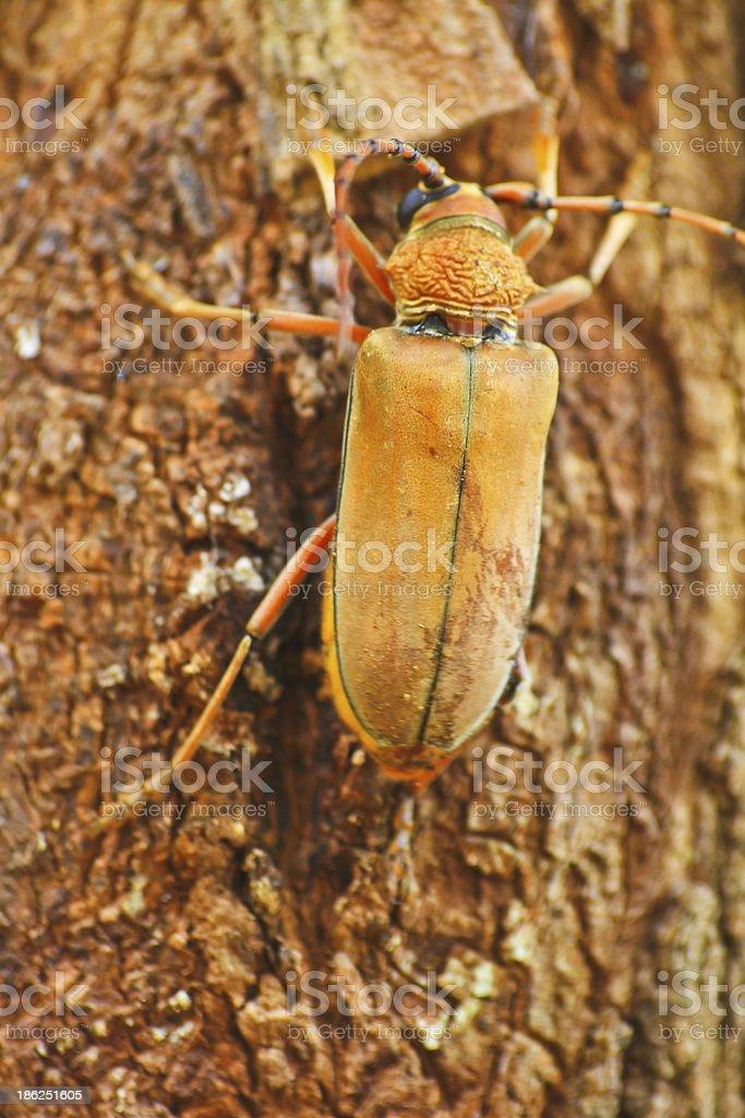 Long Horned Beetle on tree stock photo