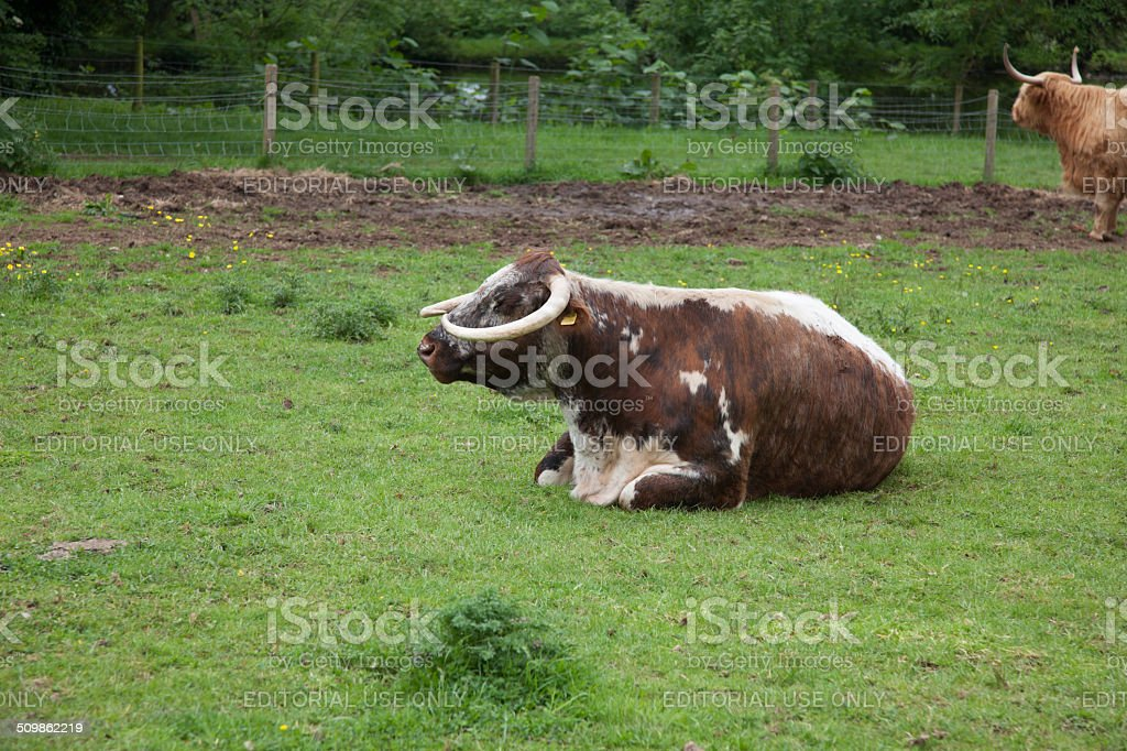 Long Horned Cow stock photo