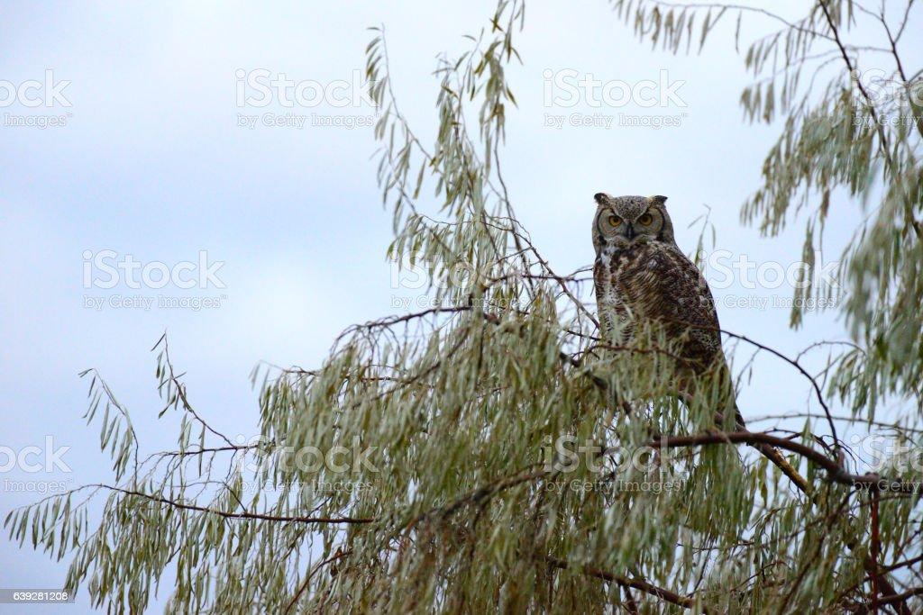 Long Horned Owl in Russian Olive Tree Idaho USA stock photo