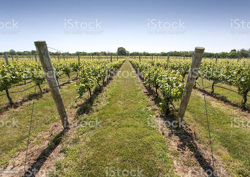 Long Island Vineyard royalty-free stock photo