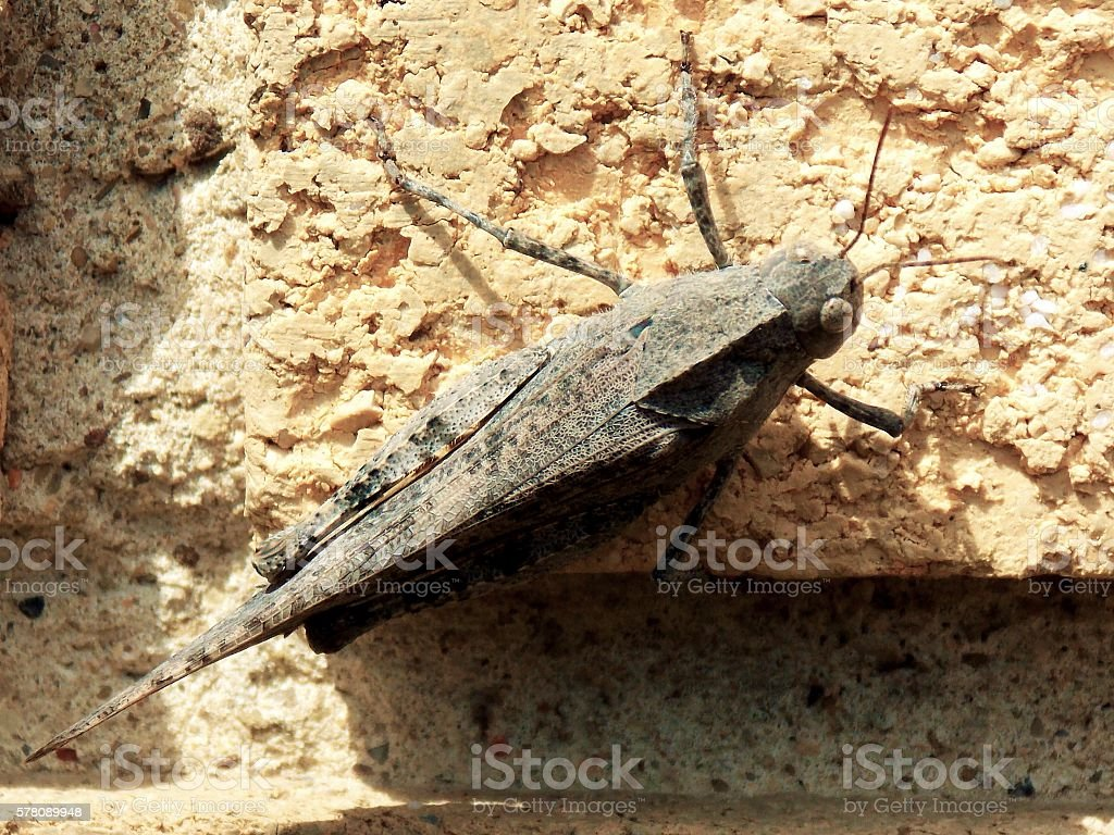 Long Jumper - Carolina Locust Grasshopper Lands on Wall stock photo
