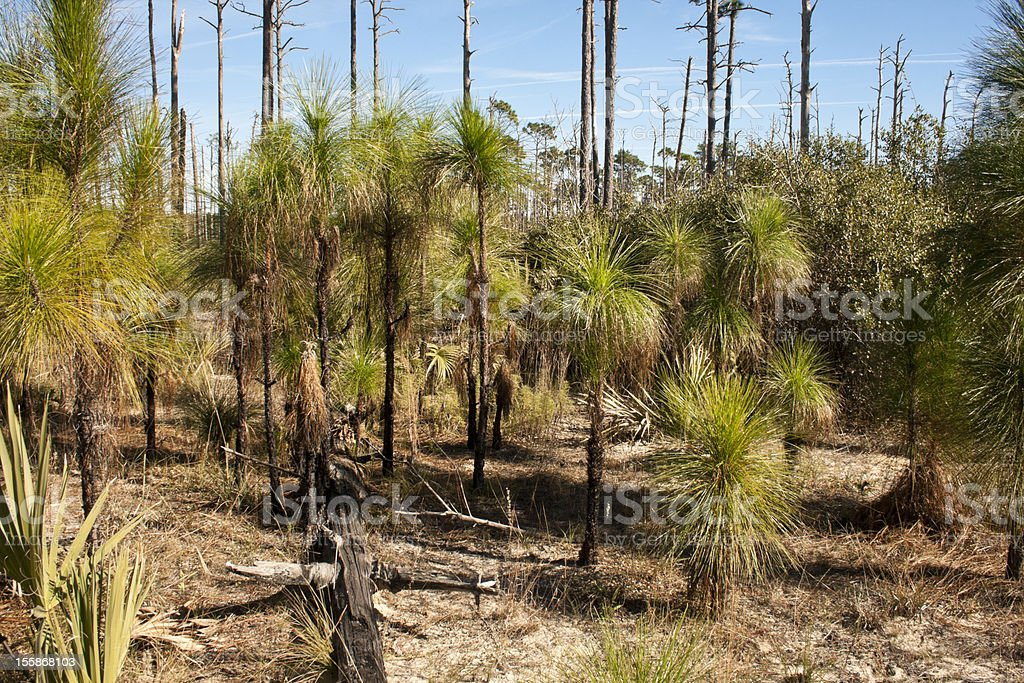 Long Leaf Pine seedlings stock photo