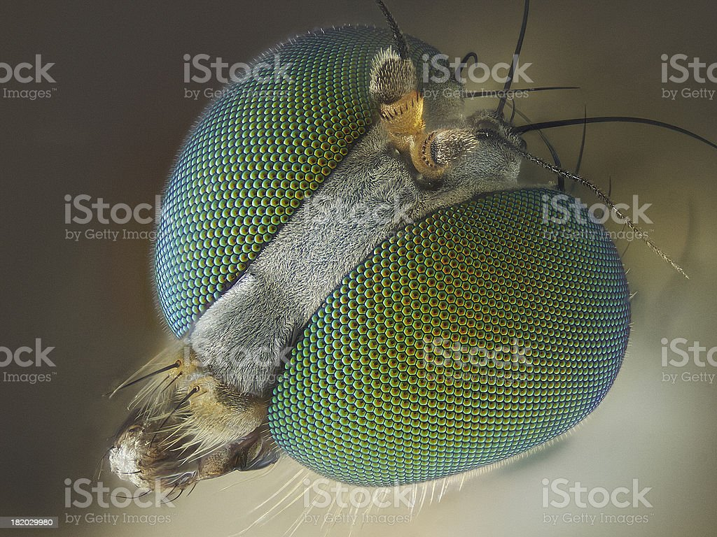 Long legged fly stock photo