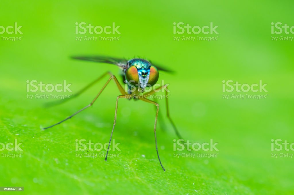 long legged fly stand on green leaves, small green fly. stock photo