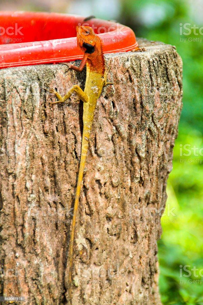 Long Lizard with red head and torso photo libre de droits