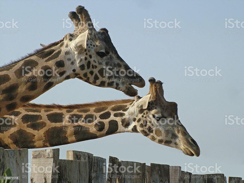 Long necks royalty-free stock photo