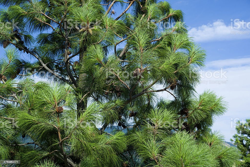 Long needle pine tree with pinecones royalty-free stock photo