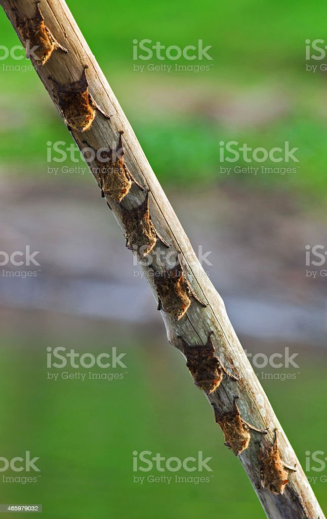 Long nosed bats roosting - Western Amazon. stock photo